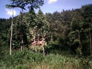 Hutan Cianjur Mulai Gundul